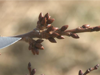 Colo. fruit growers worry over warm weather
