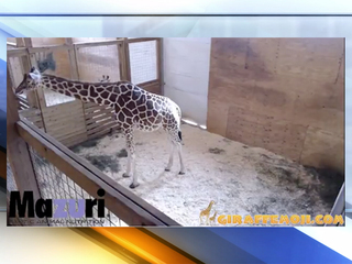 WATCH LIVE: Thousands cheer on April the giraffe