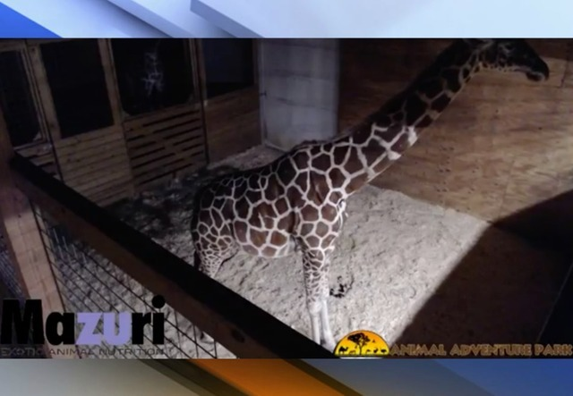 April the giraffe to give birth on YouTube with 1 million followers