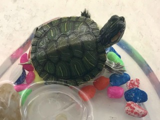 Pet turtle safe after rescue on Vail Pass