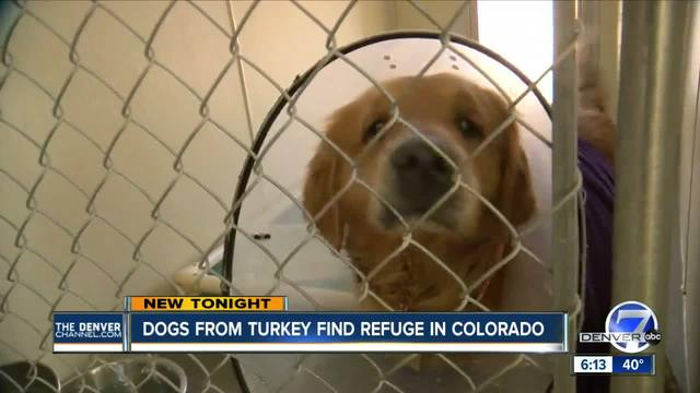 Golden retriever rescues denver