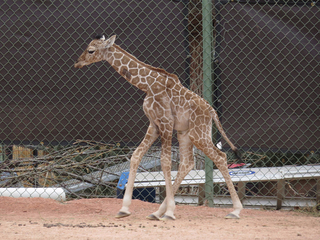Photos: Dobby the giraffe debuts at Denver Zoo