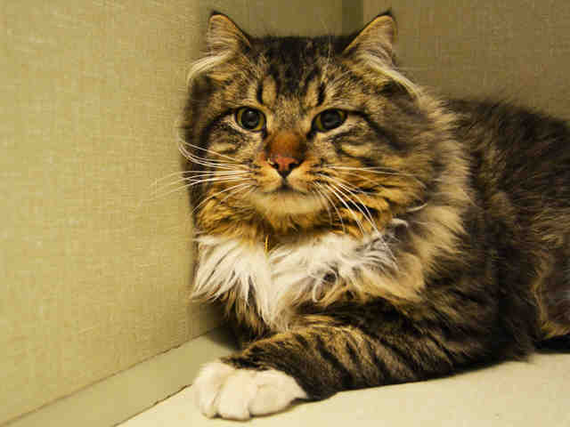 Declawed Cats For Adoption Denver