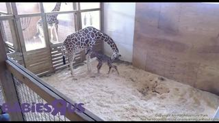 PHOTOS: April the giraffe gives birth to calf