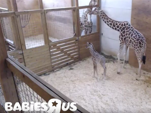 GMA reveal: April the giraffe may be pregnant AGAIN