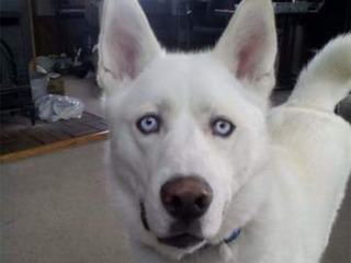 Pet of the day for April 23 - Blue the Husky