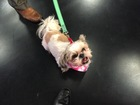 Pet of the day for May 21 - Enid the Shih Tzu