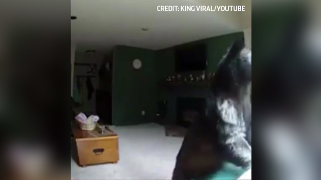 Caught on camera: Bear breaks into Vail apartment, plays piano