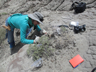 CU study: Plant-eating dinosaurs ate crustaceans