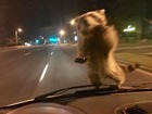 Raccoon hitches ride on officer's patrol car