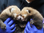 Hey, Denver: Help name the Zoo's red panda cubs