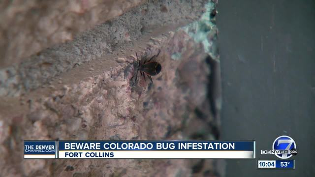 Why are these bugs all over Fort Collins-