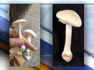 Deadly mushroom appears in Colorado yard