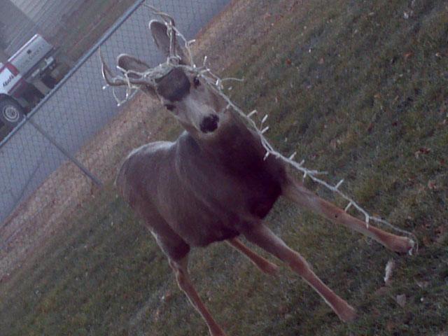 deer ends up decorated in christmas lights denver7