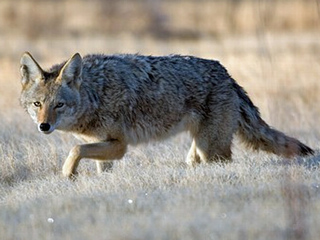 Brazen coyotes attacking pets in Erie