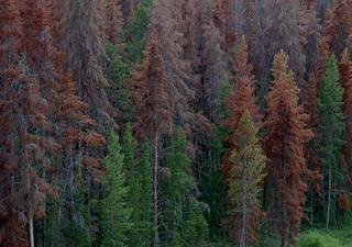 5M acres of Colorado trees destroyed by beetles