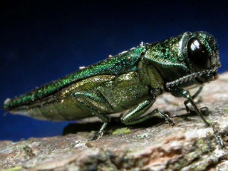 Boulder will remove 121 trees hit by ash borer