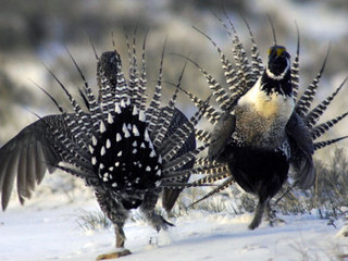 Feds remove protections for sage grouse habitat