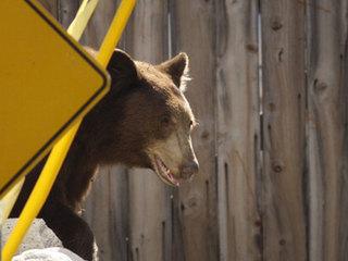 Beware: bears emerging from hibernation