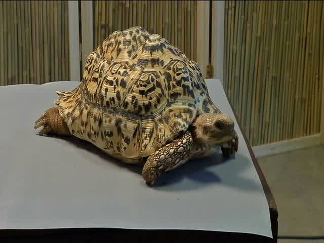 Tortoise Gets New Prosthetic Shell Thanks To A Dprinter - Tortoise gets 3d printed shell