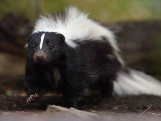 Rabid skunk euthanized in Jefferson County
