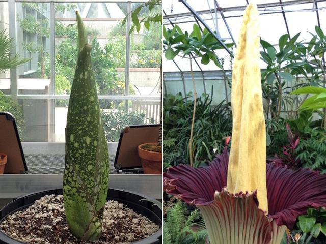 Corpse flower set to bloom at Denver Botanic Gardens and emit odor ...