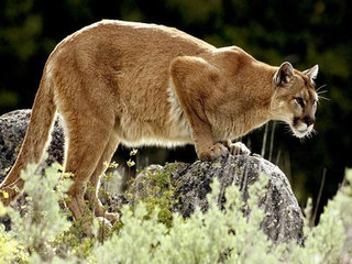 Spotted: Mountain lion prompts warning in Gypsum