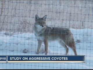Researchers want to know why coyotes attack