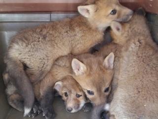 Animal control saves fox kits in window well