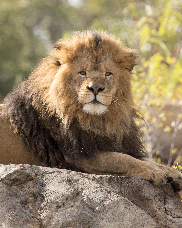 Denver Zoo Loses Leader Of African Lion Pride: 'Sango' Was