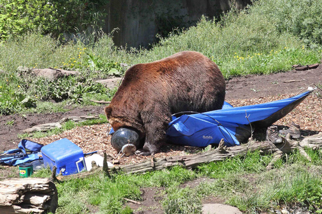 Photo Of A Bear Visiting A Camp Where Food Was Improperly Stored. Courtesy:  U.S. Forest Service