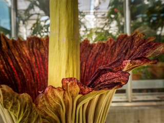 Corpse flower blooms at Denver Botanic Gardens