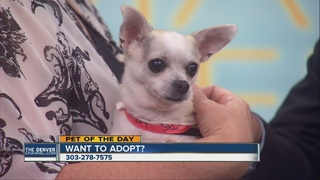 Pet of the day for Aug. 21 - Star the Chihuahua