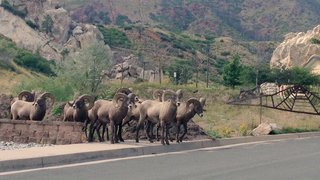 Garden of the Gods invaded by bighorn sheep
