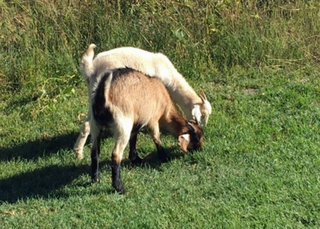 Goats used as weed-control at Springs park