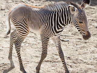 Denver Zoo annouces birth of baby zebra