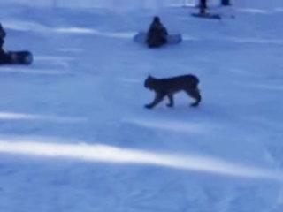 Officials ID lynx found dead at ski resort