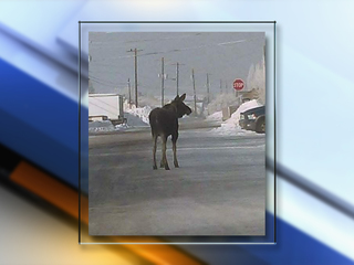 Baby moose on the loose separated from mom