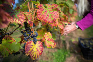 Damaging insect found at CO vineyards