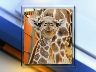 Surprise! Denver Zoo welcomes baby giraffe Dobby