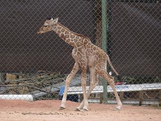 Photos: Dobby the giraffe debuts at Denver Zoo