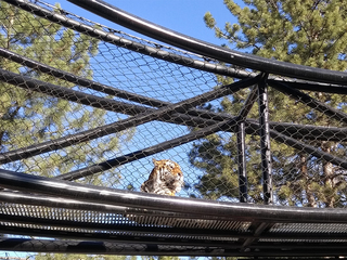 Denver Zoo receiving new tiger from Moscow