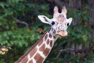 Giraffe born in CO dies at NC zoo