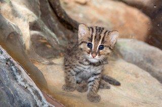 Denver Zoo celebrates birth of fishing cat cub