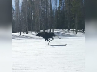 WATCH: Moose runs down the slopes in Breck