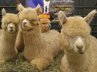 Great Western Alpaca Show in Denver this weekend