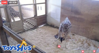 See the moment April the giraffe gave birth