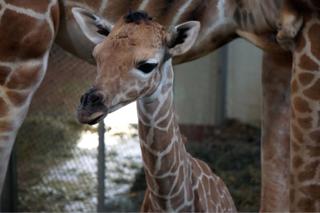 Cheyenne Mountain Zoo welcomes new baby giraffe