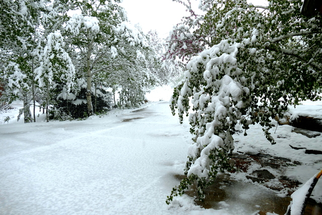 how to protect trees  shrubs damaged during a snowstorm
