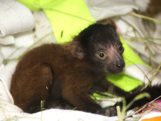 Denver Zoo welcomes new baby lemur, Penny